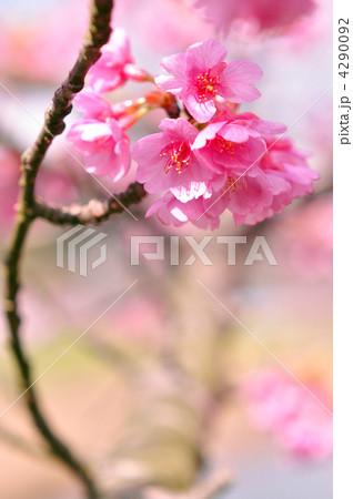 桜 4290092