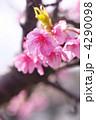 河津桜 カワヅザクラ 満開の写真 4290098