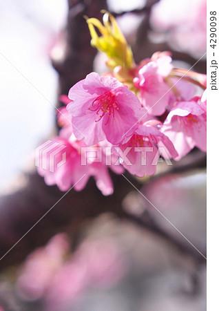 桜 4290098