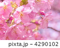 河津桜 カワヅザクラ 満開の写真 4290102