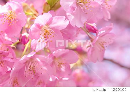 桜 4290102