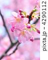 河津桜 カワヅザクラ 満開の写真 4290112
