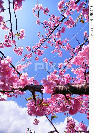 桜 4290116