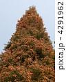 スギ すぎ 杉の写真 4291962