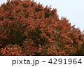 スギ すぎ 杉の写真 4291964