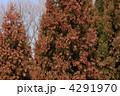 スギ すぎ 杉の写真 4291970