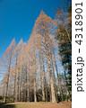 針葉樹 人工林 メタセコイアの写真 4318901