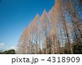 メタセコイア 人工林 針葉樹の写真 4318909