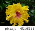 トロピカル 亜熱帯 花の写真 4319311