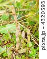 ツクシ 4320593