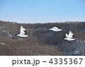 青空を飛翔する丹頂鶴 4335367