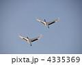 飛翔する丹頂鶴 4335369