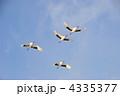 青空を飛翔する丹頂鶴 4335377