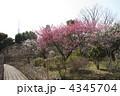 梅の木 向島百花園 梅の写真 4345704