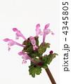 赤紫の仏の座 4345805
