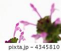 赤紫の仏の座 4345810