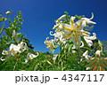 ヤマユリ 青空 百合の写真 4347117