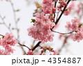 河津桜 4354887