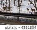 蝦夷しか エゾシカ エゾ鹿の写真 4361804