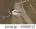 コガラ 小雀 鳥の写真 4368513