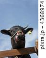 舌を出した牛 4368974