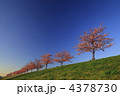 河津桜 4378730