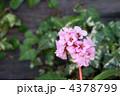 ひまらや雪ノ下 ヒマラヤユキノシタ 春の花の写真 4378799