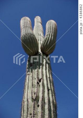 両腕に何かを抱えているように見える巨大サボテン 4386862