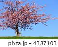 河津桜 4387103
