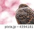 梅とキジバト 4394181