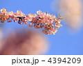 河津桜 4394209