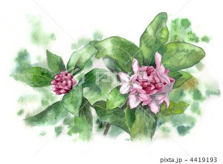 沈丁花 ジンチョウゲ 花のイラスト素材 4419193 Pixta