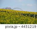 黄色い花 菜の花畑 春の花の写真 4431219