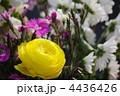 ラナンキュラス 花金鳳花 ハナキンポウゲの写真 4436426