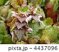 姫踊子草 シソ科 ヒメオドリコソウの写真 4437096