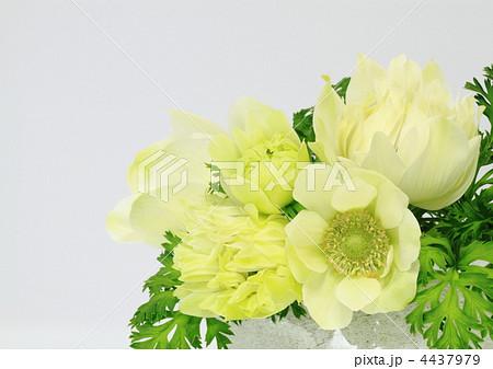 淡い黄色のアネモネ 4437979