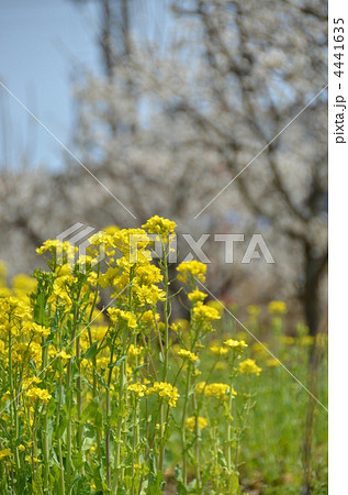 菜の花 4441635