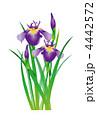 あやめ 菖蒲 花のイラスト 4442572