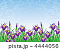 あやめ 菖蒲 花のイラスト 4444056