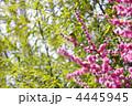 紅梅 メジロ めじろの写真 4445945