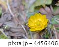 山野草 福寿草 フクジュソウの写真 4456406