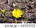 山野草 福寿草 フクジュソウの写真 4456503