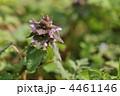 春の紫色の花 ~ヒメオドリコソウ~ 4461146