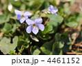 春の紫色の花 ~タチツボスミレ~ 4461152