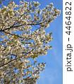 大島桜 オオシマザクラ 花の写真 4464822