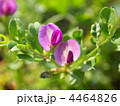 蝶形花 カラスノエンドウ マメ科の写真 4464826
