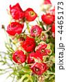 きんぽうげ科 キンポウゲ 金鳳花の写真 4465173