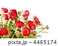 きんぽうげ科 キンポウゲ 金鳳花の写真 4465174