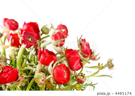 red Ranunculus 4465174