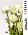 きんぽうげ科 キンポウゲ 金鳳花の写真 4465666